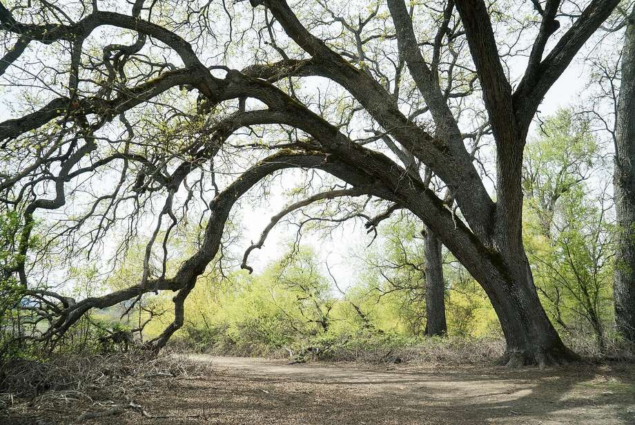 An oak tree leans over the Cache Creek Nature Trail, which leads to the park's tule marshes. Photo: James Tensuan, Special To The Chronicle