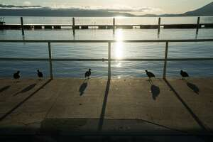 Birds walk alongside Clearlake at Library Park in Lakeport, Calif. on Sunday, March 27, 2016. Lakeport offers visitors restaurants, entertainment and lakeside views.