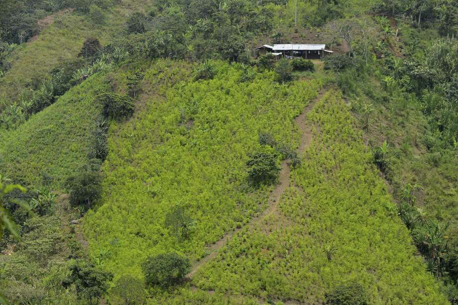 """Coca grows in the mountains of Colombia.  The government is moving toward a deal with the country's largest guerrilla group to eradicate the crops. Negotiators say they'll create a profitable """"integral"""" crop substitution program for farmers. Photo: Luis Robayo /AFP / Getty Images / AFP"""