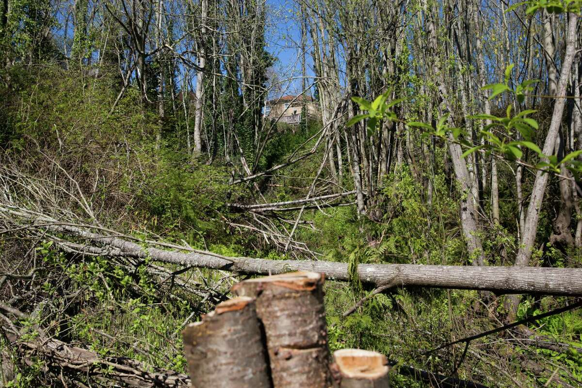 Illegally downed trees fill a section of a West Seattle forested ravine, on Tuesday, Mar. 29, 2016. The city has identified alleged perpetrators and is suing them for $1.6 million in damages and fines. About 150 trees were cut.