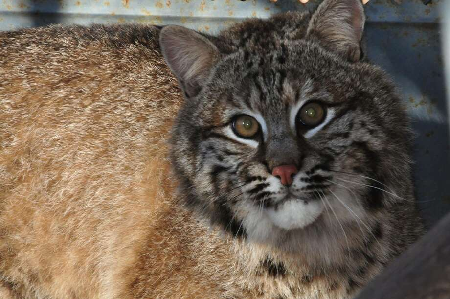 Animal caretakers released a rescued bobcat Saturday near 11th Mountain in the Adirondacks. (Photo: Eric Brown). ORG XMIT: _RKRrYmed6vgdAUiUsD5