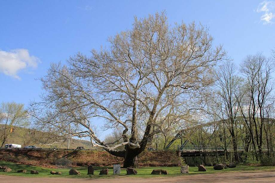 Oldest tree: Pinchot Sycamore, SimsburyThe Pinchot Sycamore is 28.3 feet in circumference, 106.8 inches in diameter and is estimated to be about 400 or 500 years old. Find out more.  Photo: Sage Ross, Wikimedia Commons