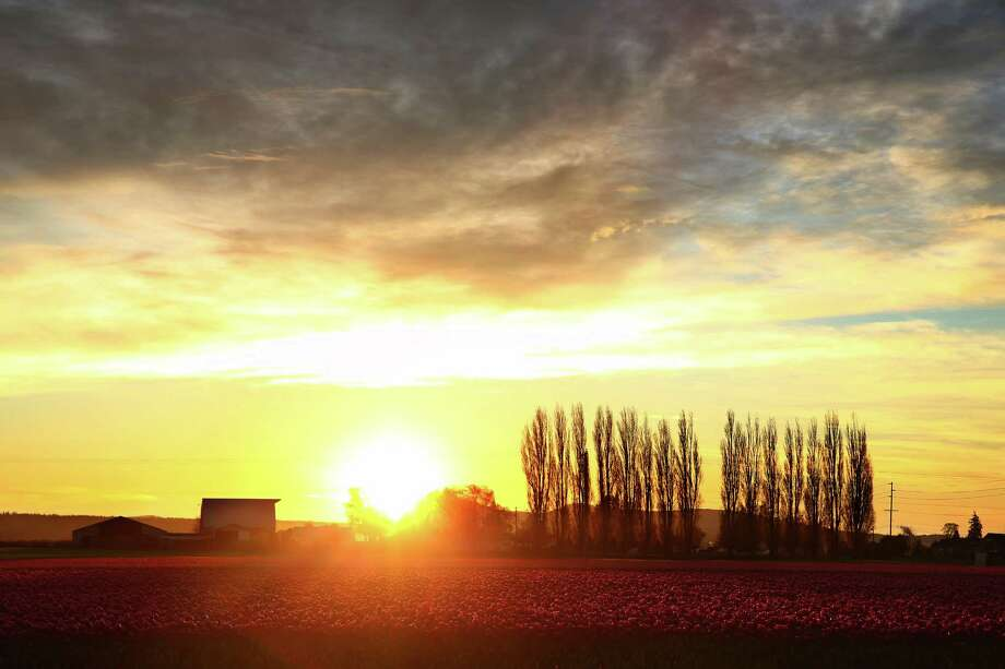 The Skagit Valley tulip fields are seen at sunset, Wednesday, March 29, 2016.  Now isn't that nice? Photo: GENNA MARTIN, SEATTLEPI.COM / SEATTLEPI.COM