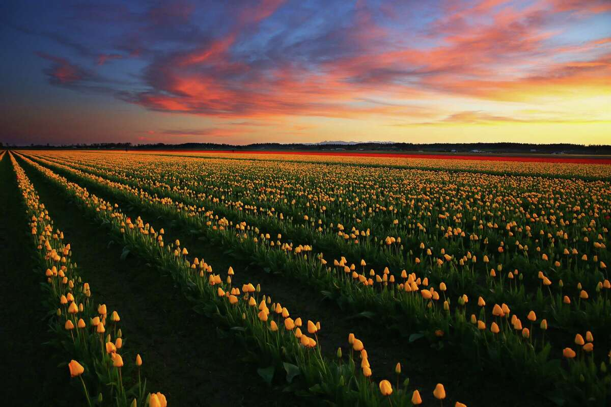 The Skagit Valley Tulip fields are seen at dusk, Wednesday, March 29, 2016. The official 2016 Skagit Valley Tulip Festival begins on Friday, April 1. The festival is located about halfway between Seattle and Vancouver, B.C., near Interstate 5. For more information, see the festival's website.