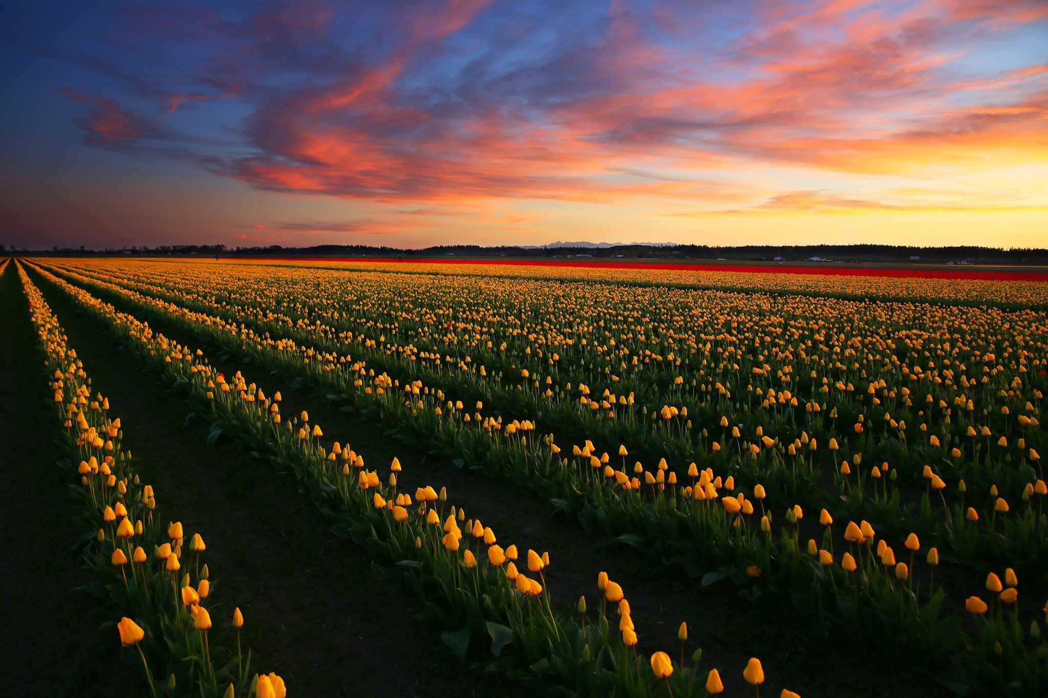 Sunset At The Skagit Valley Tulip Festival Seattlepi Com
