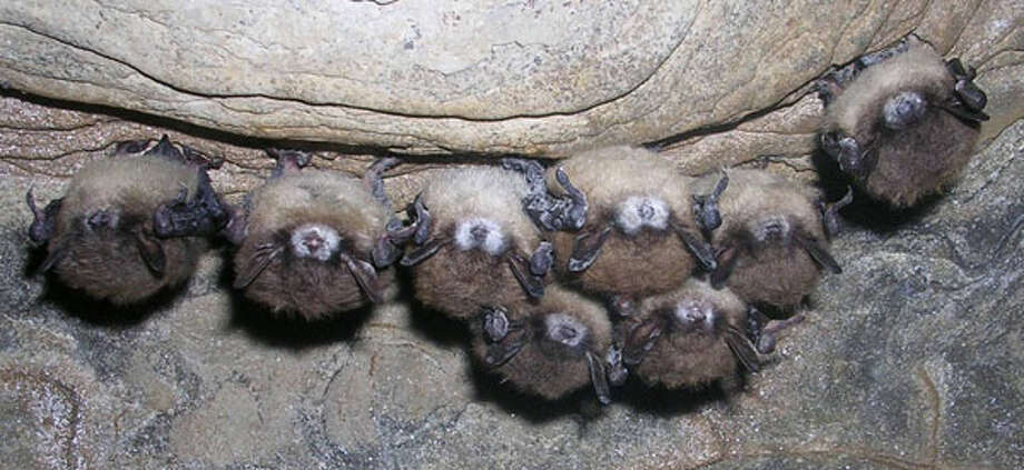 Bats exhibiting Pseudogymnoascus destructans fungus on their muzzles. This fungus causes WNS in bats.