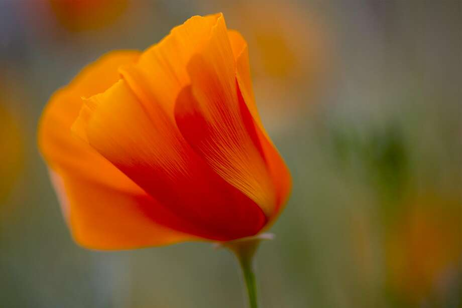 California poppies are a staple among California wildflowers. Photo: David McNew, Getty Images