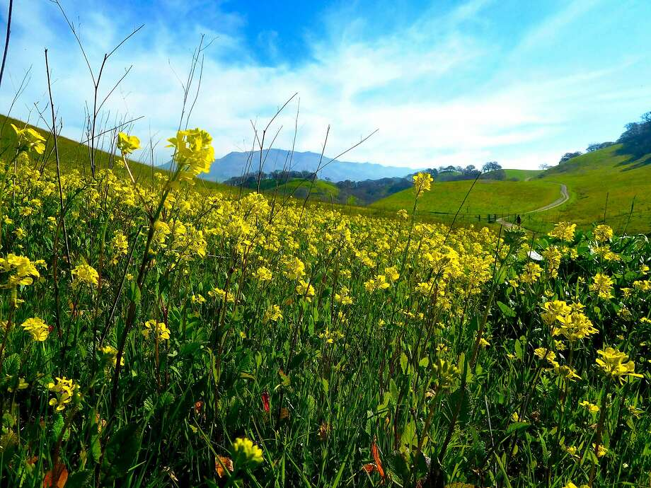 Wild mustard brings foothils to color on Briones-to-Diablo Trail outside Walnut Creek near Mount Diablo.  Photo: Brian Murphy, Brian Murphy / Special To The Chronicle