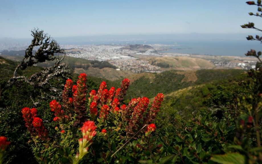 Wildflowers line the trails of San Bruno Mountain State and County Park in Brisbane, Calif. Saturday, May 2, 2015. Photo: Jessica Christian, The Chronicle