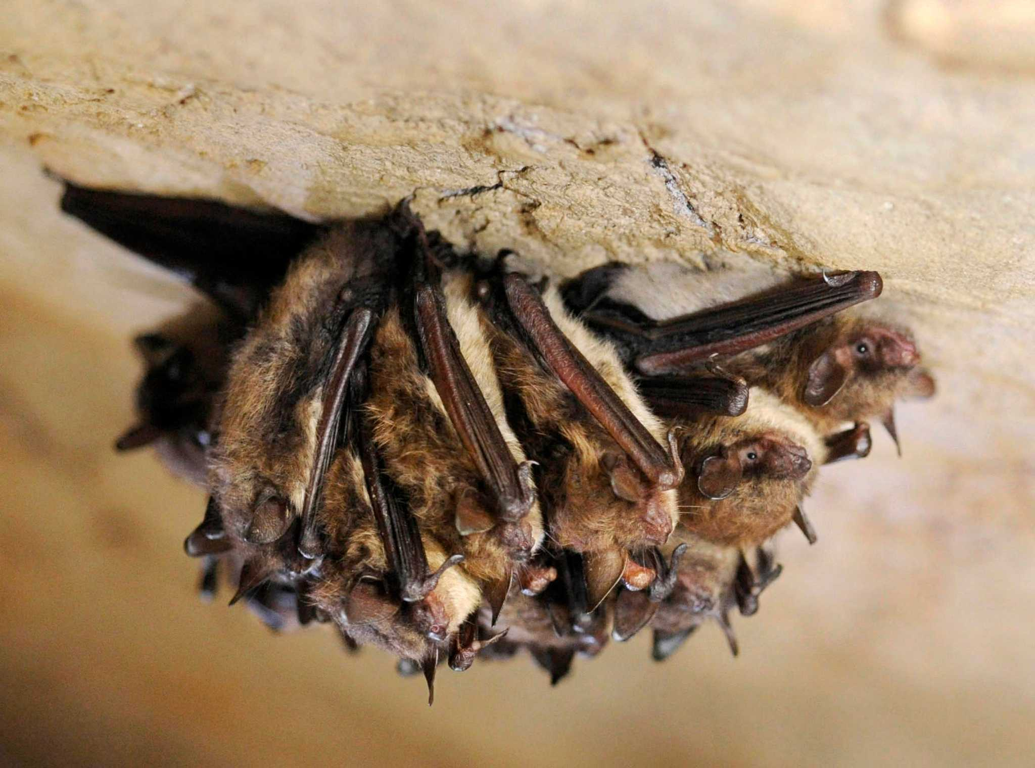 Fungus causes deadly bat disease