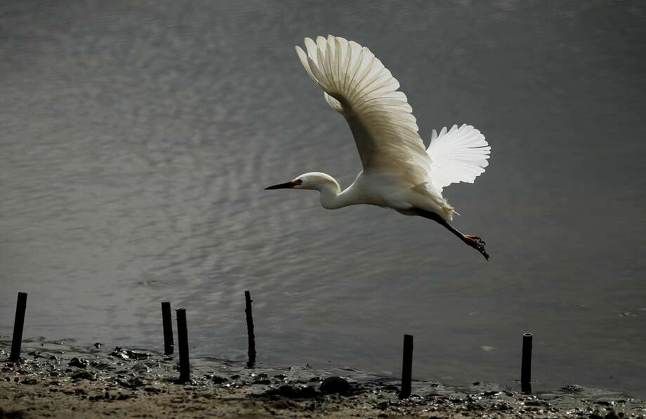 A snowy egret takes off from the marsh area at S.F.'s Crissy Field, a wetland that would be protected by Measure AA. Photo: Michael Macor, The Chronicle