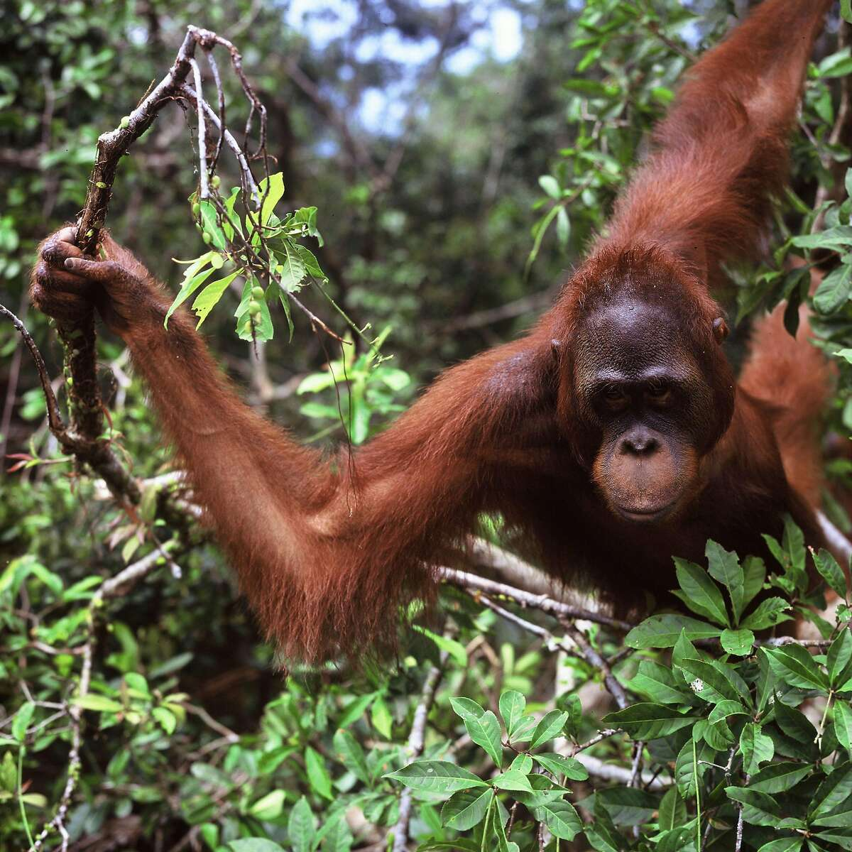 A sub adult male orangutan is seen in Central Kalimantan, Borneo, Indonesia, in this file photo provided by WWF on Monday, June 11, 2007. Borneo and Sumatran orangutans have been considered endangered for years mainly because of loss of habitat.