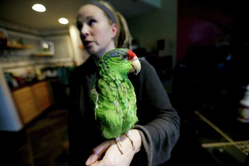 Mexico's red crowned parrot - a species that has been adapting so well to living in cities in California and Texas after escaping from the pet trade that the population may now rival that in its native country. (AP Photo/Gregory Bull)