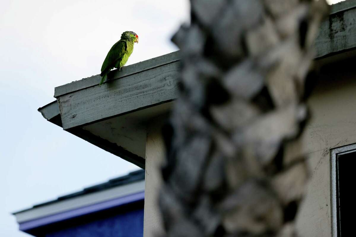 Red crowned parrots , which live in Texas, California and Mexico. Tim Keitt, a University of Texas biology professor, said birds could fly over the wall, but some of their ground-based prey could be hurt by a wall.
