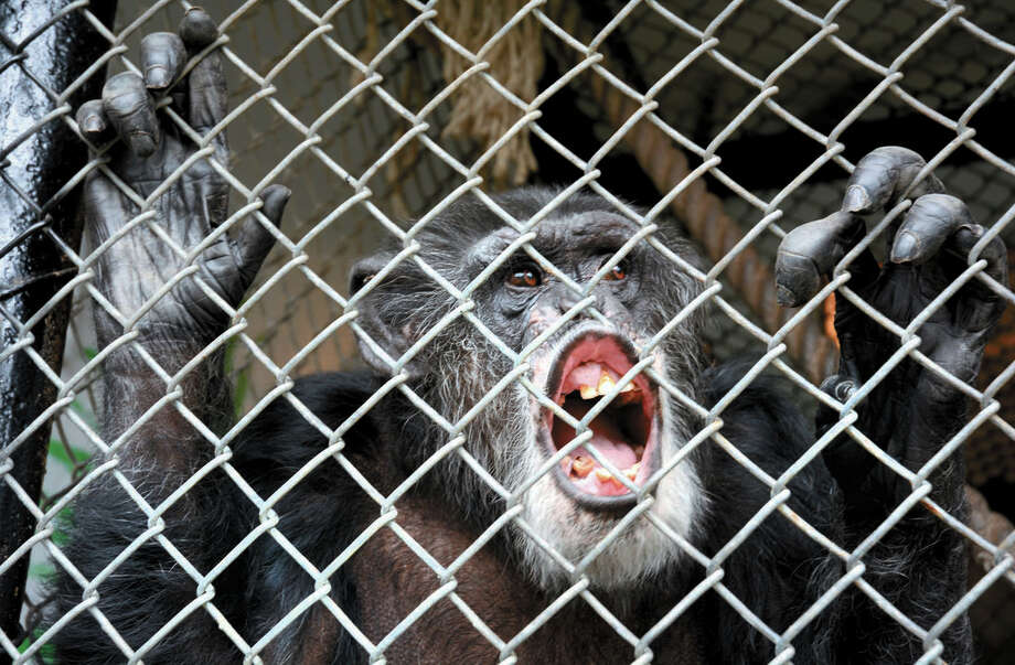 "This Oct. 29, 2014 photo shows Tommy, a chimpanzee, smiling at his home in Gloversville, N.Y. A chimpanzee is not entitled to the rights of a human and does not have to be freed by its owner, a New York appeals court ruled Thursday, Dec. 4, 2014. The three-judge Appellate Division panel was unanimous in denying ""legal personhood"" to Tommy, who lives alone in a cage in upstate Fulton County. A trial level court had previously denied the Nonhuman Rights Project's effort to have Tommy released. (AP Photo/The Leader-Herald, Bill Trojan) ORG XMIT: NYGLO101 Photo: Bill Trojan / j=0423_lawbeat"