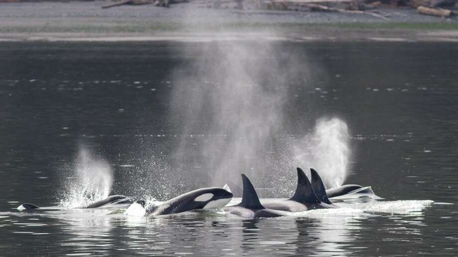 Transient or Bigg's killer whales in Saratoga Passage off Whidbey Island. (Photo: Capt. Michael Colahan, Island Adventures Whale Watching and Pangea Pictures).