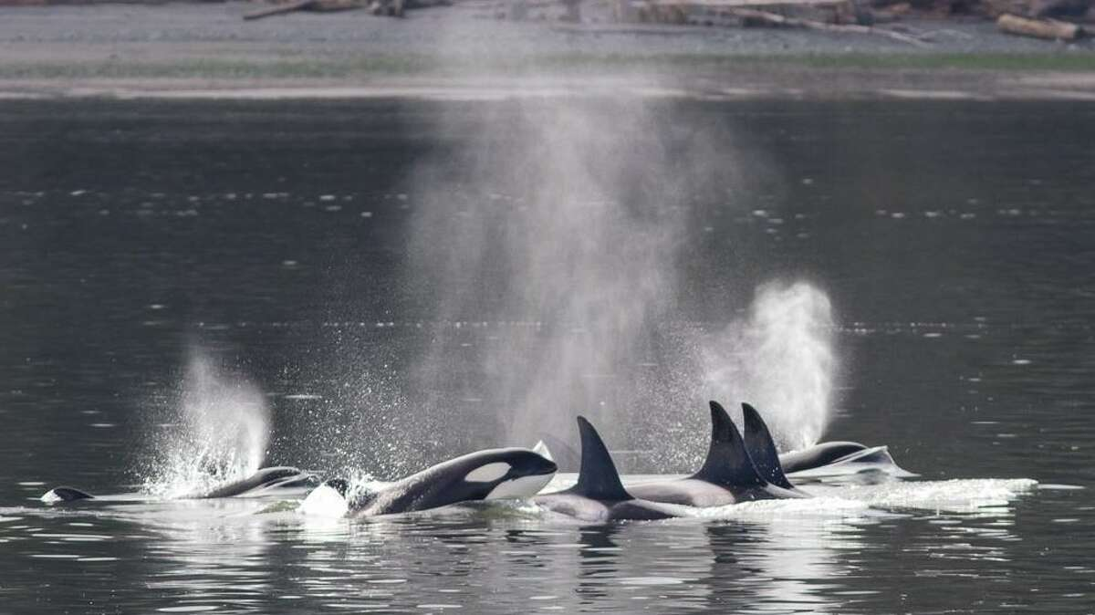 Transient or Bigg's killer whales in Saratoga Passage off Whidbey Island.