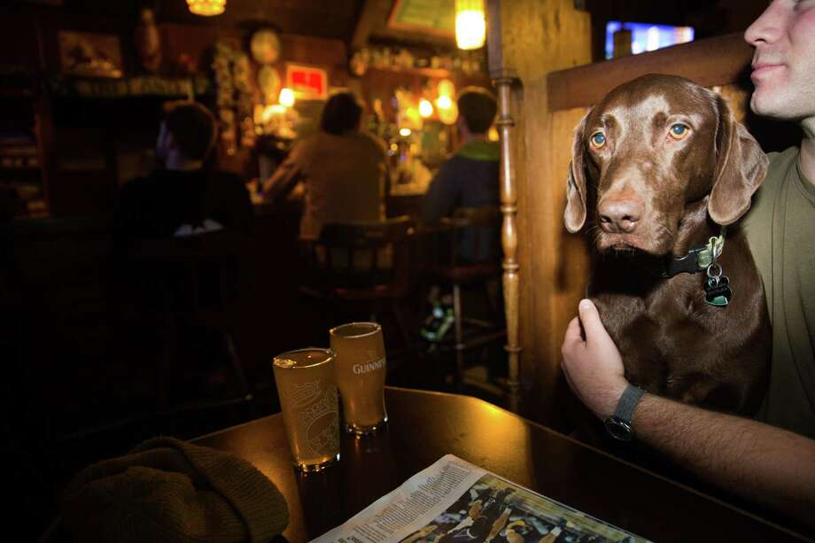 Harper, a Weimaraner-chocolate lab, poses for a photograph in a booth at Sully's Snow Goose Saloon on Phinney Ridge, Thursday, March 24, 2016. Photo: GRANT HINDSLEY, SEATTLEPI.COM / SEATTLEPI.COM