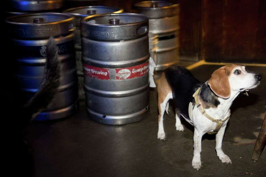 Kona, a beagle, hopes for treats while standing next to kegs of beer at Sully's Snow Goose Saloon on Phinney Ridge, Thursday, March 24, 2016. Photo: GRANT HINDSLEY, SEATTLEPI.COM / SEATTLEPI.COM