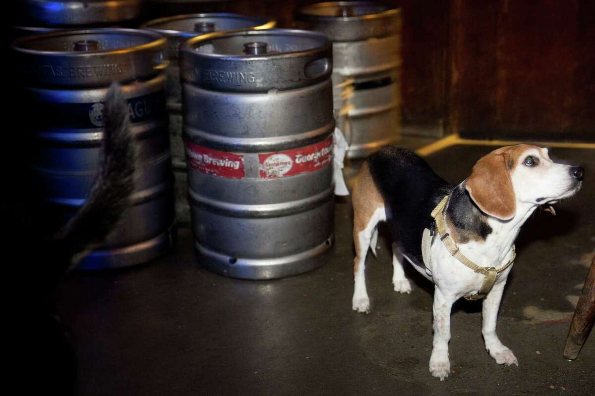 Kona, a beagle, hopes for treats while standing next to kegs of beer at Sully's Snow Goose Saloon on Phinney Ridge.