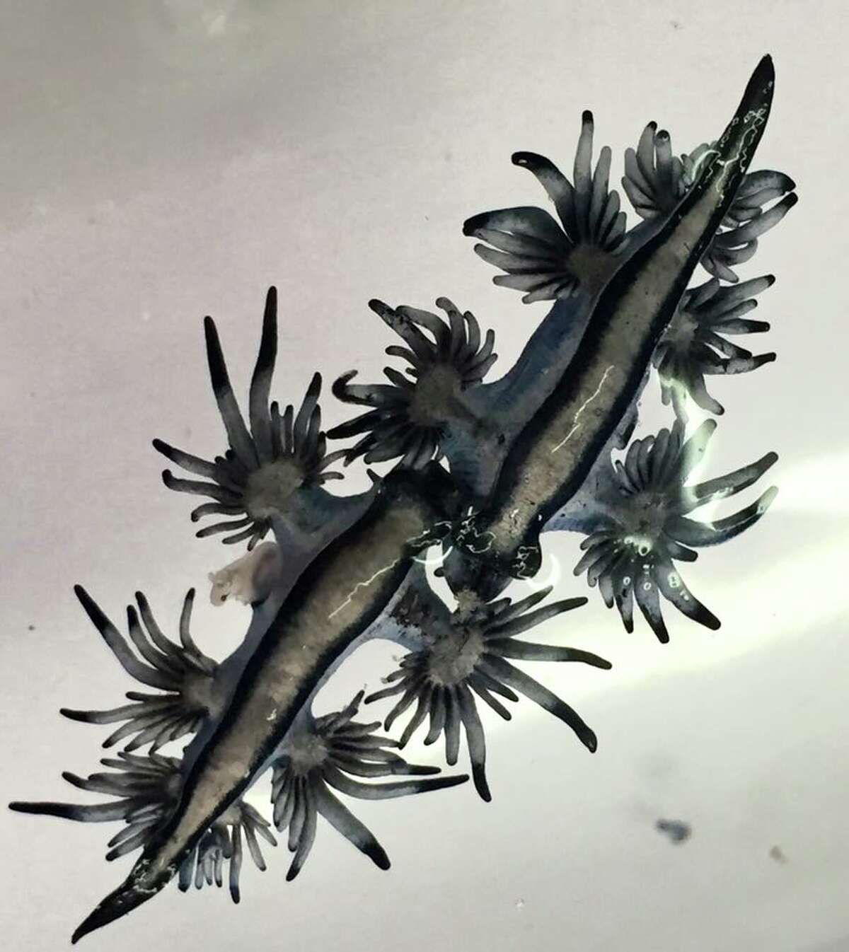 These blue sea slugs (blue dragon nudibranchs) are kind of like squids, snails and oysters. These were found on Malaquite Beach on March 30.