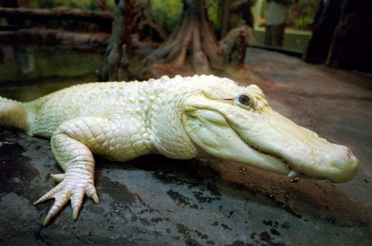 One of the most curious-looking residents of the Houston Zoo will soon be leaving his longtime digs for a new, spacious home south of Houston. Blanco, the 11-foot, 180-pound white alligator will be relocated to the Crocodile Encounter complex near Texas 288 in the Angleton area.