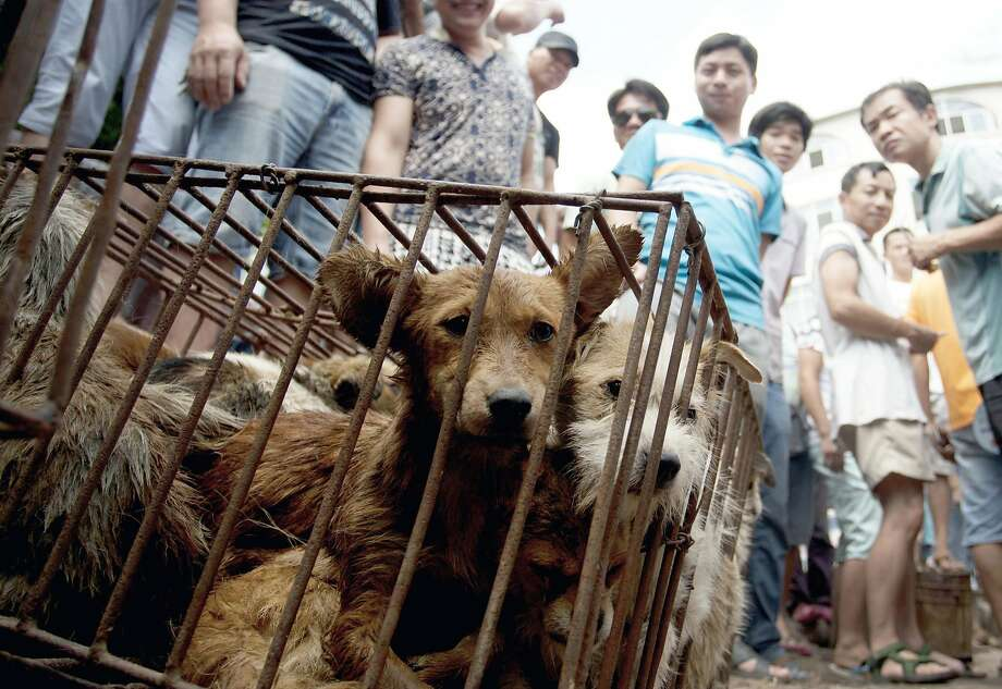 FILE - In this June 21, 2015, file photo, dogs in cages are sold by vendors at a market during a dog meat festival in Yulin in south China's Guangxi Zhuang Autonomous Region. Animal rights activists on Monday, April 4, 2016, are seeking to shut down an annual summer dog meat festival in southern China blamed for blackening the country's international reputation as well as fueling extreme cruelty to canines and unhygienic food handling practices. (Chinatopix via AP, File) CHINA OUT Photo: AP