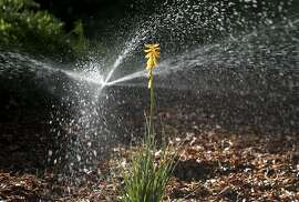 A high efficiency sprinkler waters a drought resistent sustainable garden, including red-hot poker plants (center), in Concord, Calif. on Friday, Oct. 30, 2015. The Cowell Homeowners Association has been able to dramatically reduce its water use while maintaining its landscaping using an effective water management program.