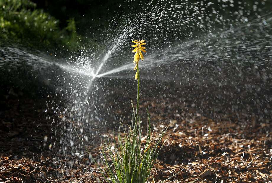 A high efficiency sprinkler waters a drought resistant sustainable garden, including red-hot poker plants (center), in Concord, Calif. on Friday, Oct. 30, 2015. Photo: Paul Chinn, The Chronicle