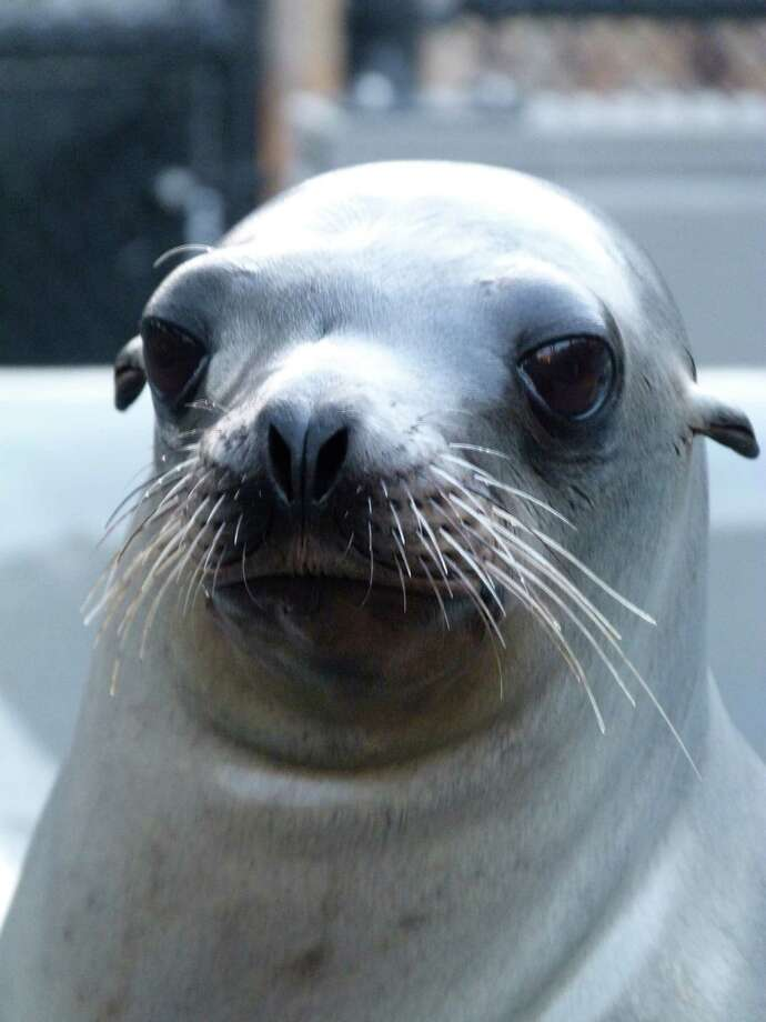 School Daze is a sea lion that was found on Highway 37 last year and was later treated by the Marine Mammal Center. He was a returning patient and it is believed he may have experienced neurological damage from domoic acid exposure.