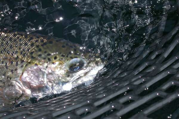Trout in the net . . . cooler nights, the first rains of the year have lowered water temperatures at lakes in the Bay Area foothills. Trout stocks have resumed after a summer off and fishing is good at several lakes, including Los Vaqueros, Del Valle and San Pablo reservoirs in the East Bay foothills