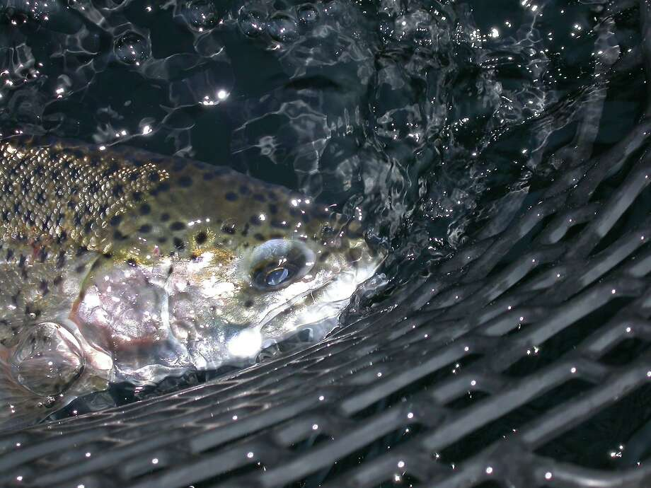 Trout stocks have resumed after a summer off and fishing is good at several lakes, including Los Vaqueros, Del Valle and San Pablo reservoirs in the East Bay foothills. Photo: Tom Stienstra