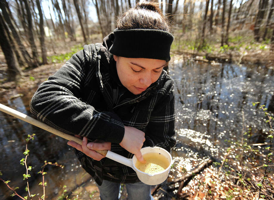 Tanya Petruff of All Habitat Services points out a mosquito larvae sampled from a swampy area off Pond Point Avenue in Milford, Conn. on Tuesday, April 5, 2016. The city kicked off its Mosquito Control Program which involves treating mosquito breeding sites as well as community education about personal protection and minimizing mosquitoes around the home. Photo: Brian A. Pounds / Hearst Connecticut Media / Connecticut Post