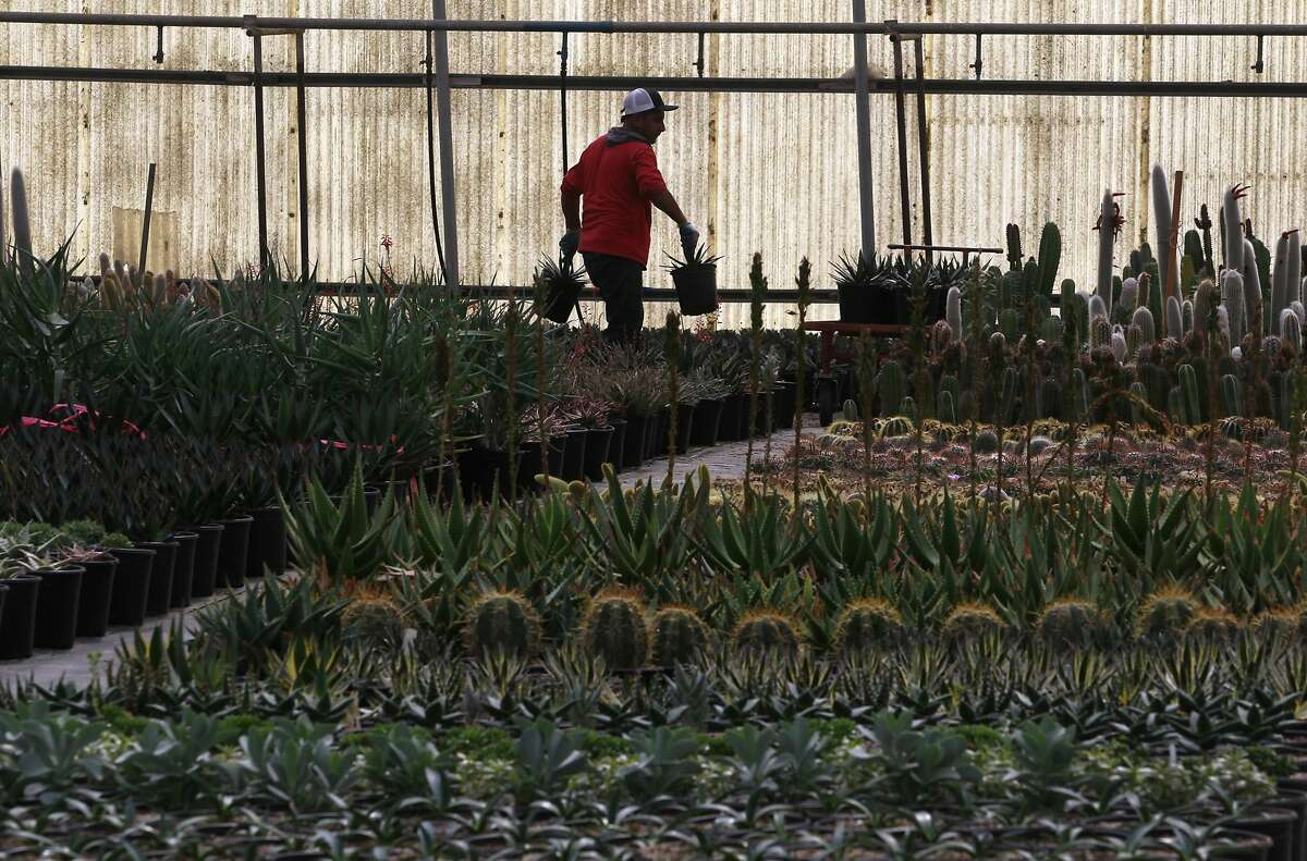 A nursery worker rearranges pots of succulents at Succulent Gardens in Castroville, Calif. on Tuesday, March 4, 2014.