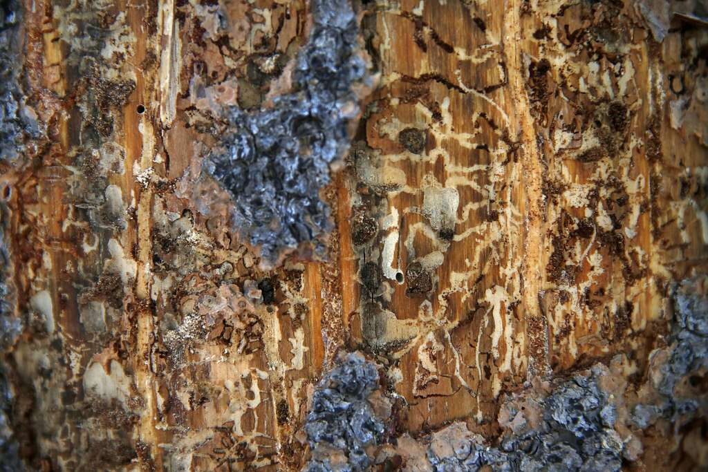 Image result for pine bark beetle