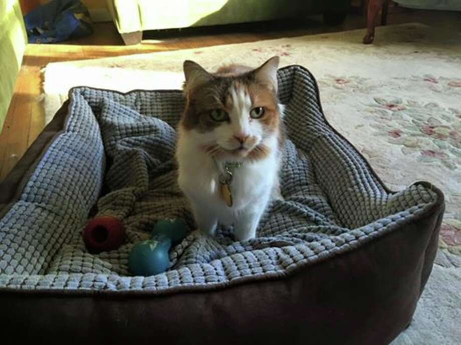 Lilly, a 12-year-old female calico cat, is missing after a tree fell on the family home at 28 Elmbrook Drive Sunday, April 3, 2016. If seen, please call Jessica Rosen at 203-253-3763. Photo: Contributed Photo