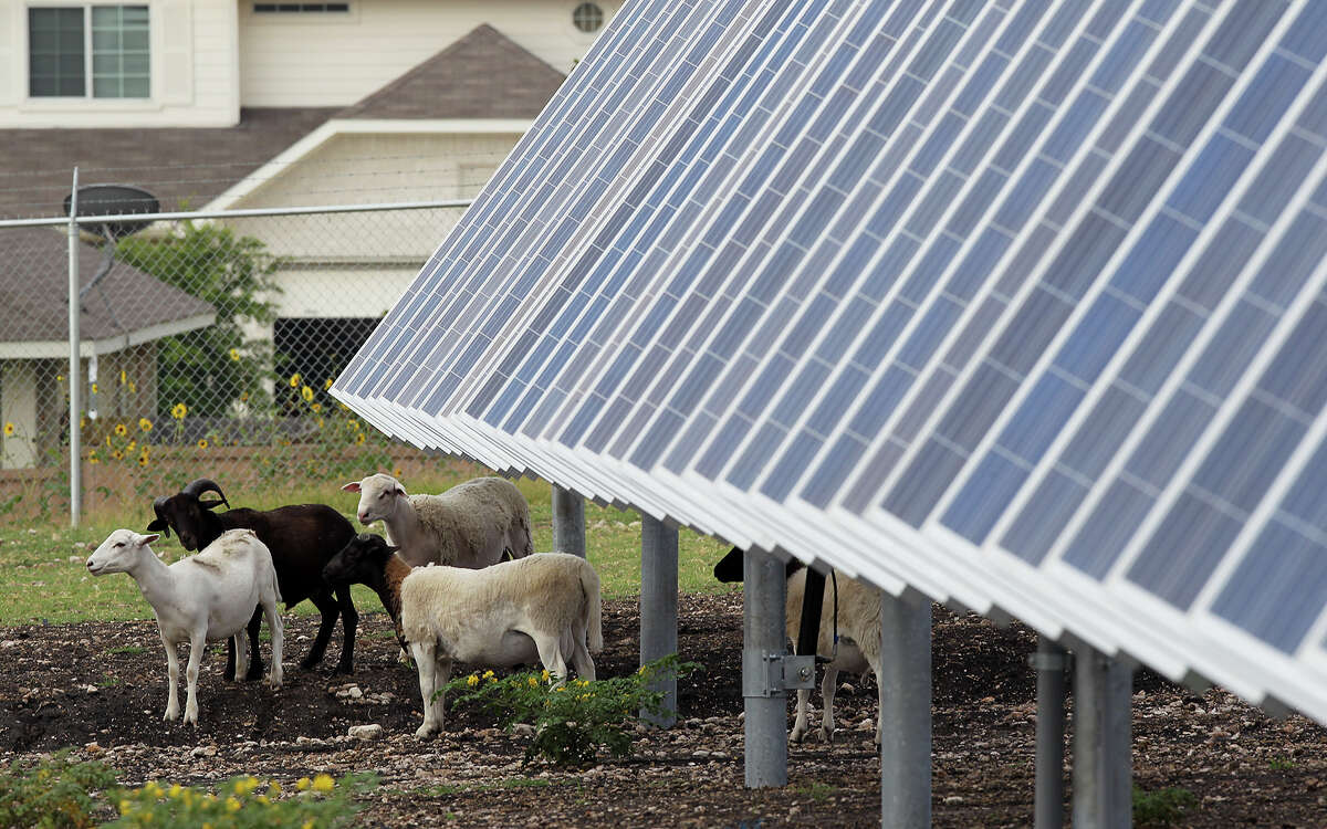 Sheep graze by solar panels at the Alamo 2 Solar Farm located at 8203 Binz Engleman Road in 2014. OCI Solar Power contracted for the nearly 90 Barbados cross sheep in order to maintain the area. The 45-acre farm has 18,000 solar panels that provide 4.4 megawatts of energy at its peak for CPS Energy. It was the first time the company has used sheep in a Texas facility.