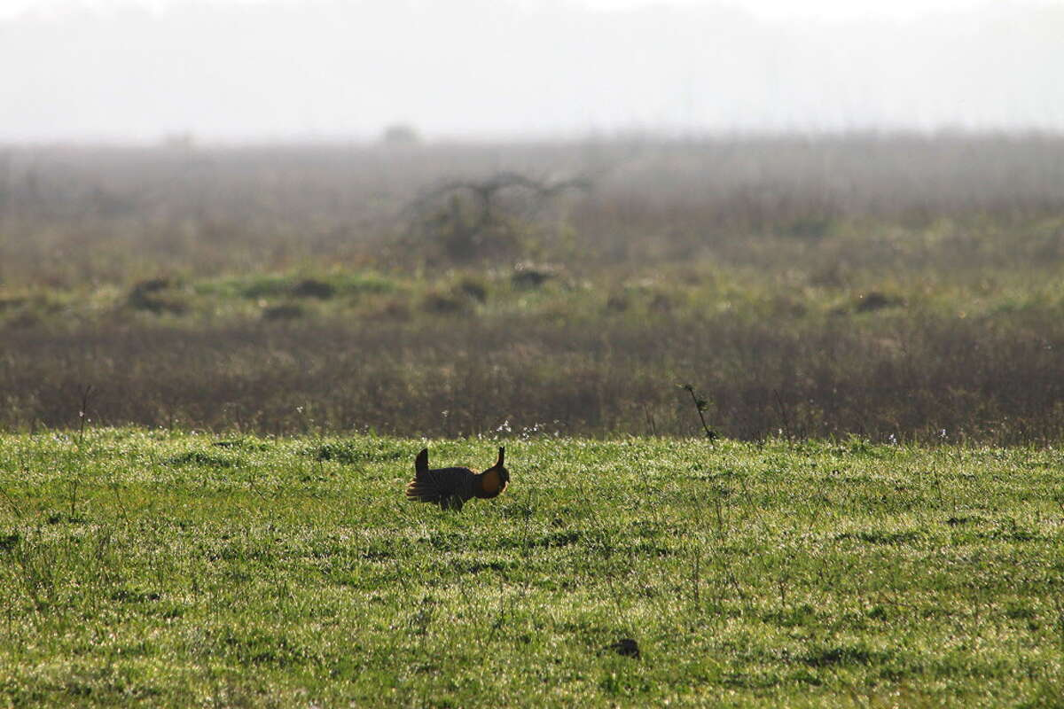 Attwater's Prairie Chickens depend on short grasses for providing