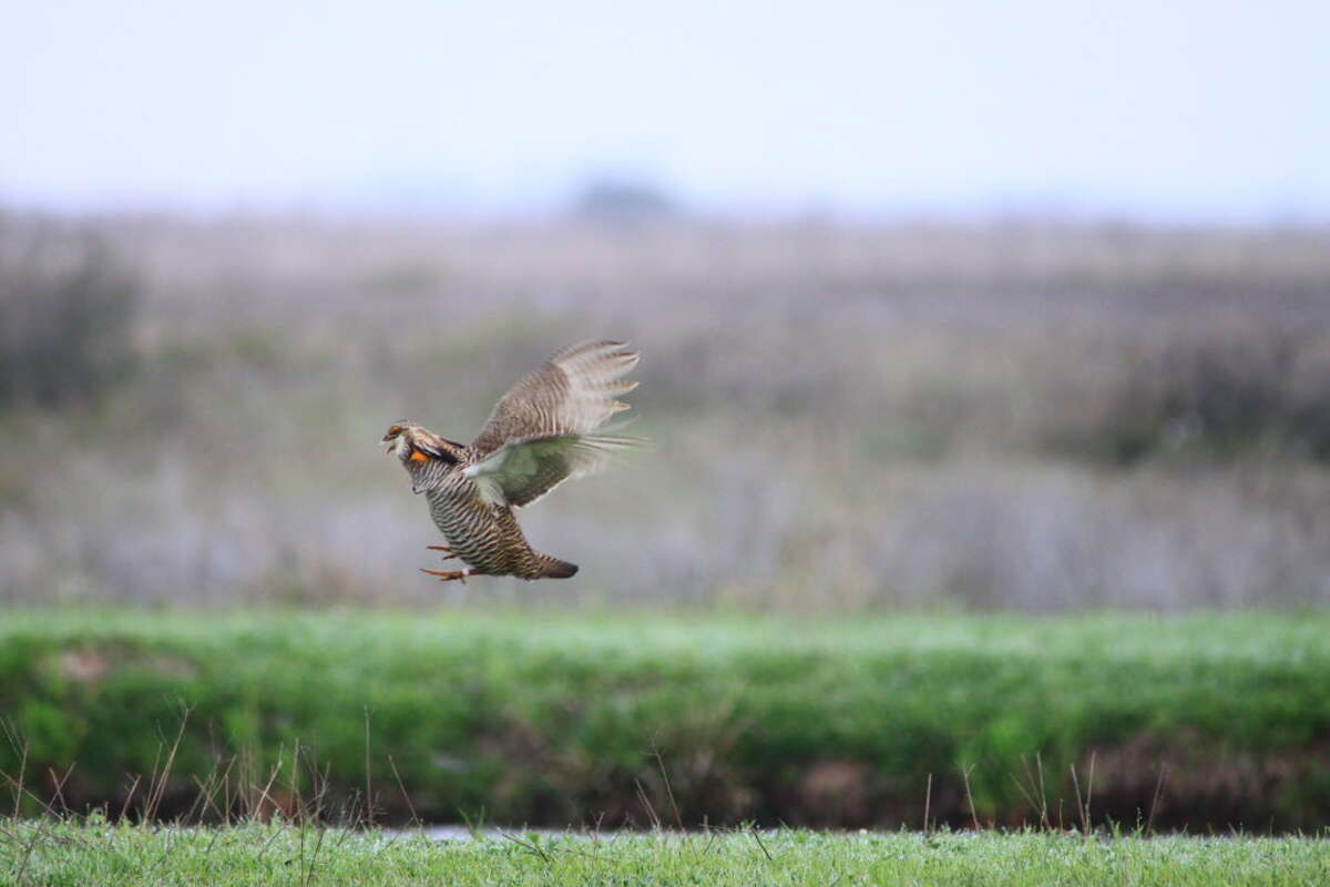 Attwater's Prairie Chickens are strong, fast fliers and can escape predators.