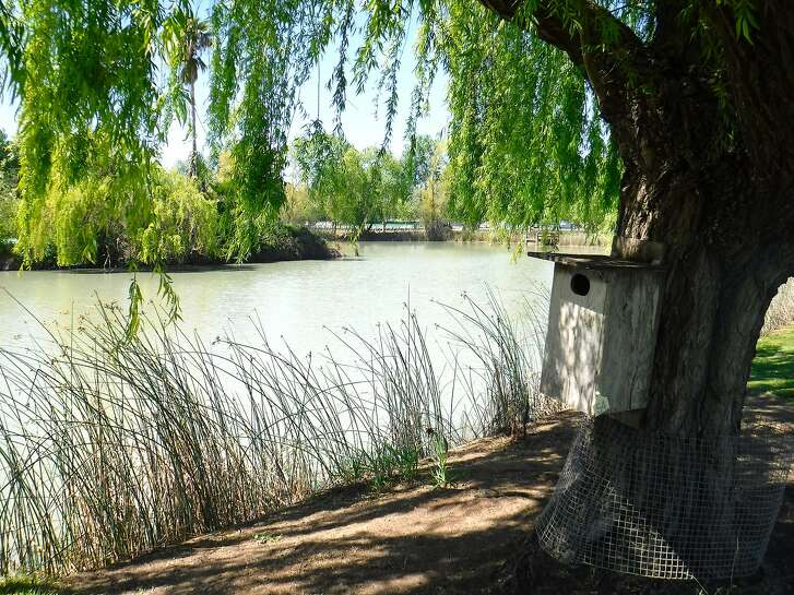Wood duck nesting boxes perched on willow tree next to pond at Rancho Esquon near Durham in Sacramento Valley. Nesting boxes provide habitat for wood ducks, which once nested in the hollows of trees, to next successfully when no such trees are now available.