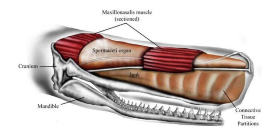 "Male sperm whales can be 60 feet long, and their foreheads make up one-third of their length and a quarter of their body mass. Inside are two oil-filled sacs, one atop the other. The spermaceti organ is on top and on the bottom is the junk sac, or, as the study refers to it, ""the junk."" Photo: Ali Nabavizadeh, PeerJ / The Washington Post"