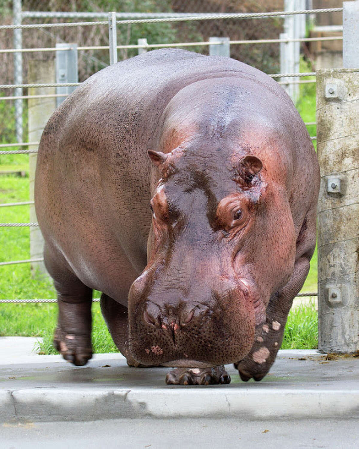 The Nile hippopotamus is named for coach Bruce Bochy.