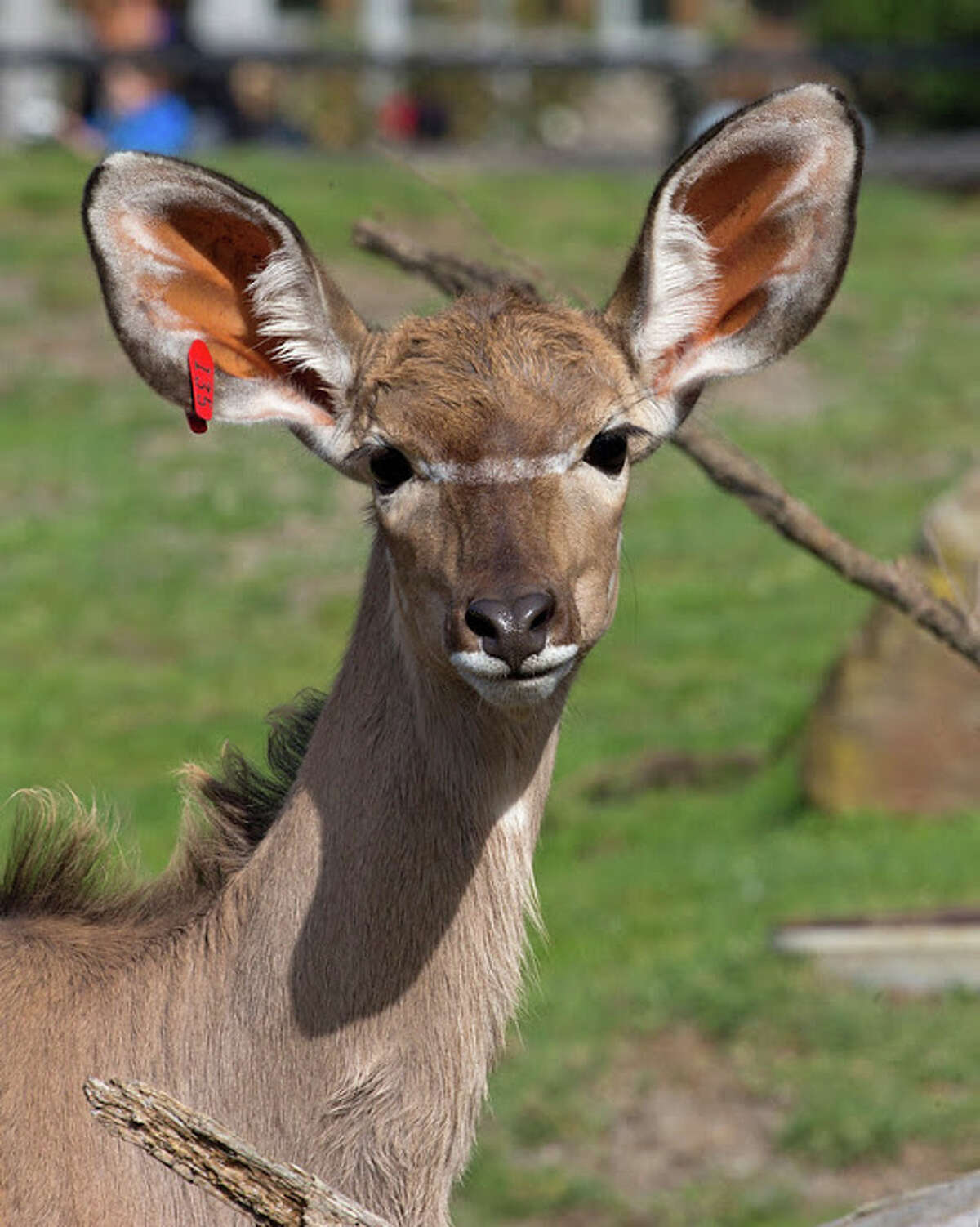 The Greater Kudu has been dubbed Madison, after pitcher Madison Bumgarner.