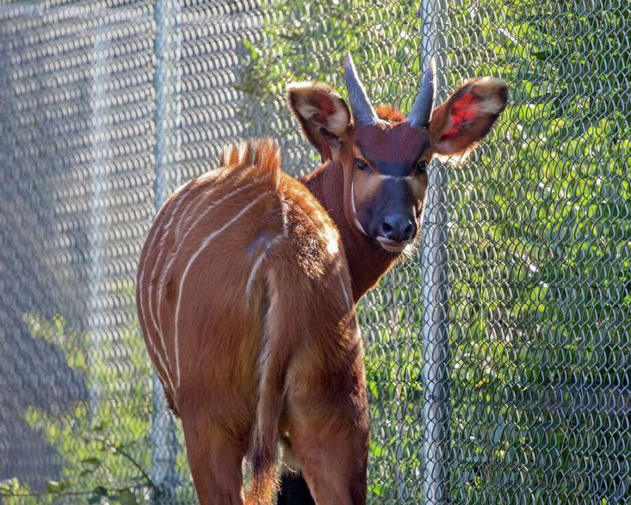 Some of the San Francisco Zoo's animals are named for the city's own favorite Giants. The Bongo, for example, is named Pence after a player with similarly long limbs: Hunter Pence.