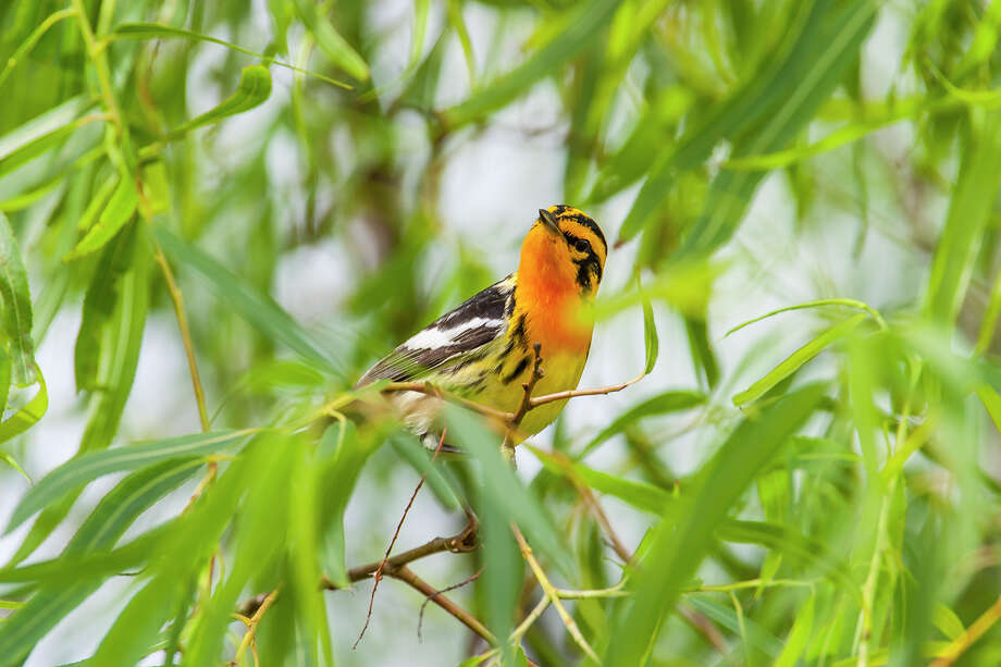 A good place to see Blackburnian warblers is at the Houston Audubon High Island Bird Sanctuaries. Photo: Kathy Adams Clark / Kathy Adams Clark/KAC Productions