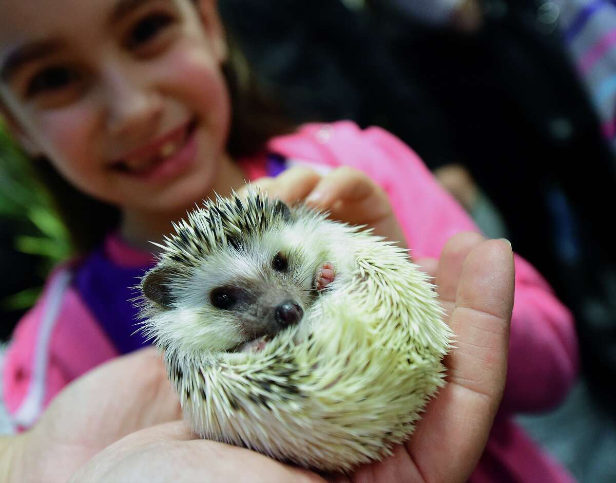 A girl holds a baby hedgehog in Lurdy House in Budapest on February 7, 2016, during a two-day international cat exhibition and fair in the Hungarian capital. Stock image chosen to represent story