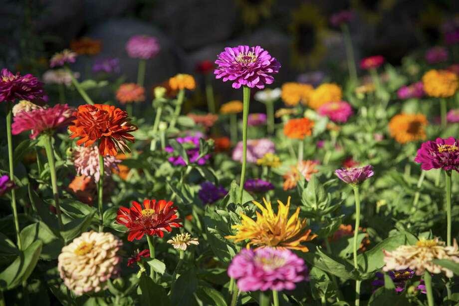 A garden of zinnias Photo: Renee Jones Schneider /TNS / Minneapolis Star Tribune