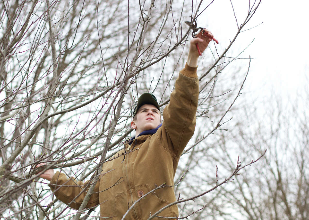 Jack Corso, age 14, helps prune the apple trees as part of the New Milford Youth Agency that is once again running and managing Sullivan Farm with the help of Mark Makin at 140 Park Lane in New Milford, CT.