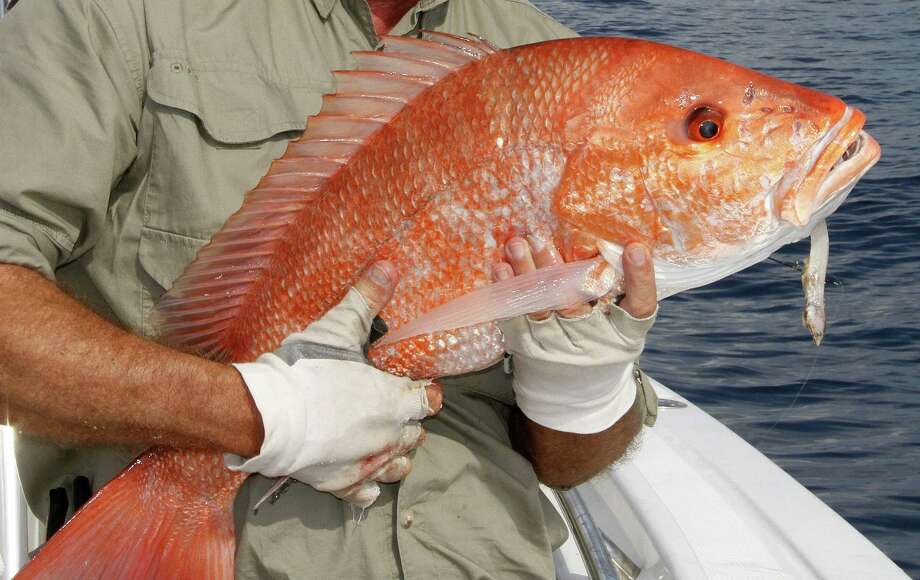Despite a booming red snapper population that has the annual catch quota for recreational anglers at a record level, the 2016 recreational season for anglers targeting snapper from private boats in federal waters of the Gulf of Mexico is projected to run as few as six days and no more than nine when it opens June 1. Photo: Shannon Tompkins