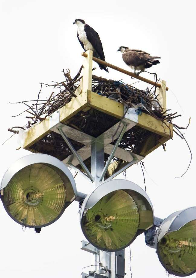 A pair of ospreys sit stop the wooden structure where they've built their nest above the lights at Cummings Park in Stamford, Conn. on Tuesday April 13,  2010. Photo: Kathleen O'Rourke / Stamford Advocate